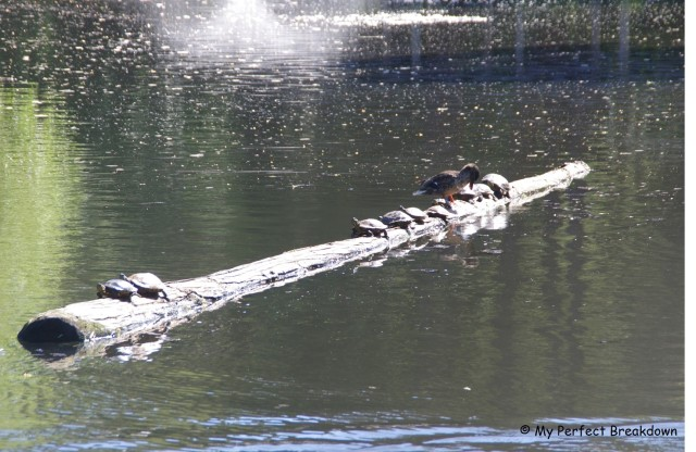 Turtles sunbathing at Beacon Hill Park