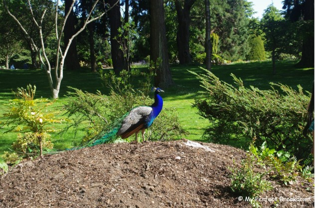 A beautiful peacock at Beacon Hill Park